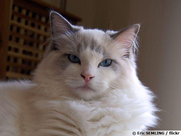 Le Ragdoll, un chat idéal pour la famille