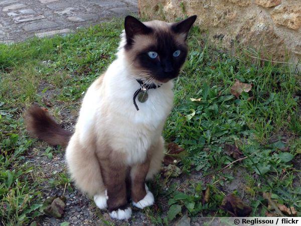 Mystérieux, élégant, longiligne, le siamois est un chat reconnaissable parmi mille