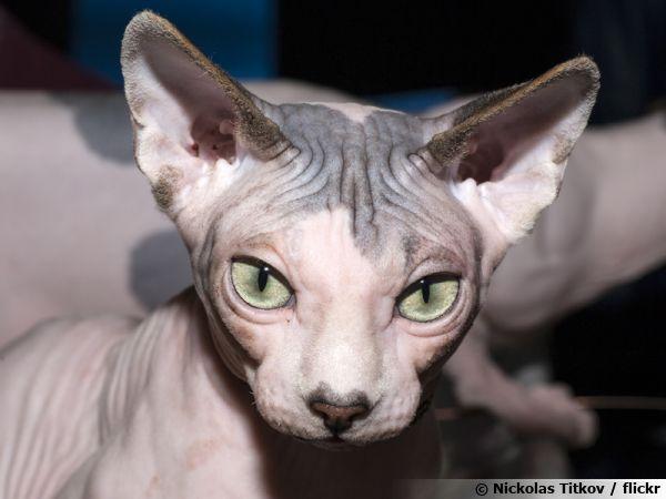 Le Sphynx, un chat étonnant et fascinant