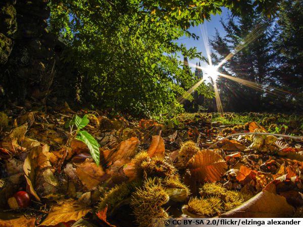 Châtaignes tombés au sol en Ardèche