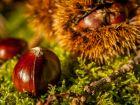 Quelle est la différence entre marron et châtaigne?