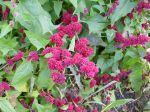 Epinard fraise, Chenopodium capitatum