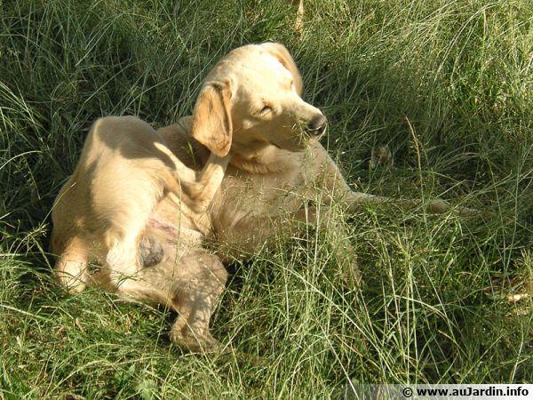 Les puces sont souvent responsables des démangeaisons du chien