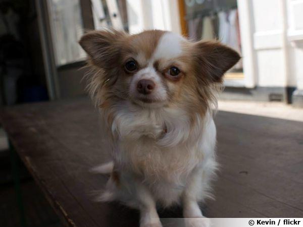Le Chihuahua, un chien de poche