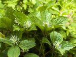 Chloranthus de Fortune, Chloranthus fortunei