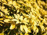 Oranger du Mexique doré, Choysia ternata 'Sundance'