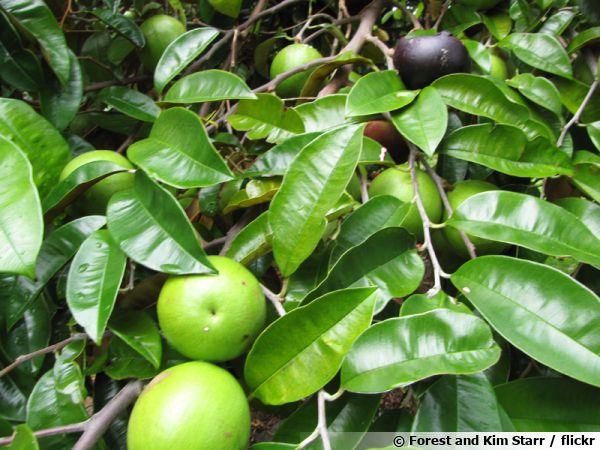 Caïmitier, Caïnitier, Pomme étoile, Pomme de lait, Chrysophyllum cainito