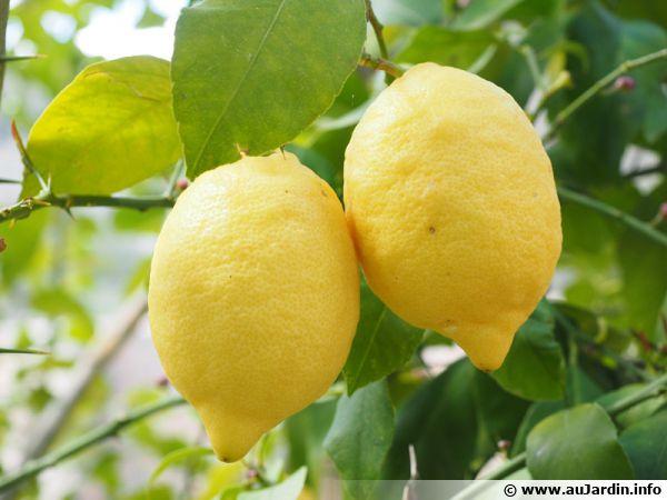 Des citrons prêts à être cueilli et dégusté