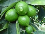 Grand citron vert, Lime de Tahiti, Lime de Perse, Limettier, Citrus latifolia