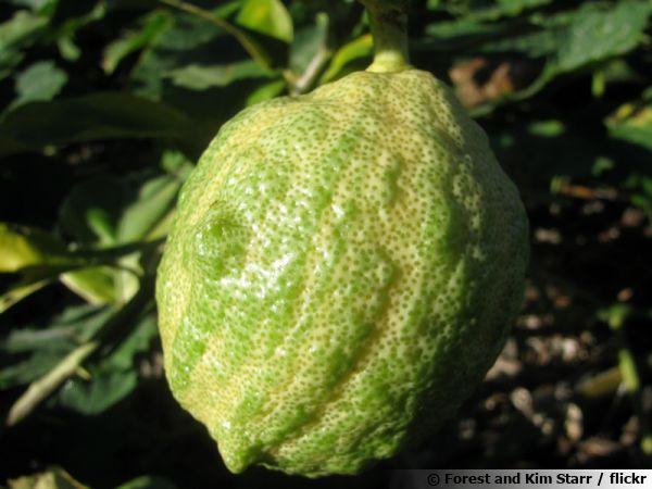 Forme panaché du citron des quatre saisons