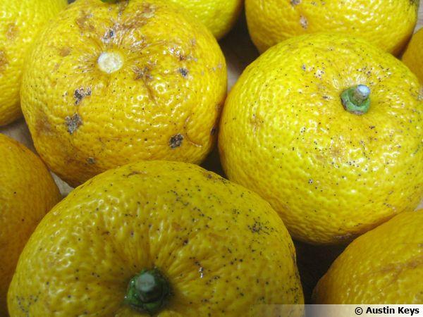 Yusu, Citrus x junos