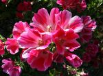 Fleur de satin, Godetia, Clarkia amonea