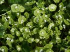 Claytone de Cuba, Pourpier d'hiver, Claytonia perfoli�e,  Claytonia perfoliata
