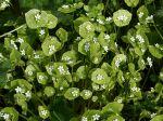 Claytone de Cuba, Pourpier d'hiver, Claytonia perfoliée, Claytonia perfoliata