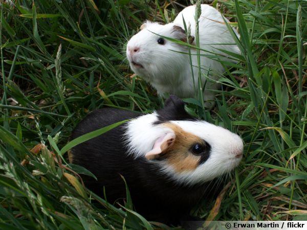 Un cochon d'Inde au jardin