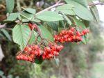 Baies de Cotoneaster franchetii à l'automne