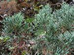 Cyprès glabre, Cupressus arizonica var. Glabra