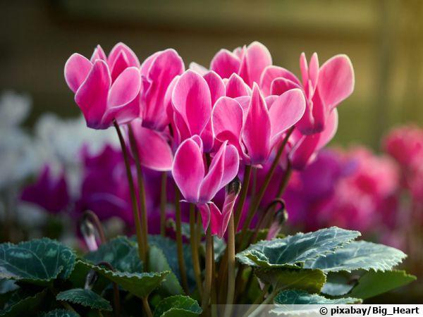 Le cyclamen en fleurs