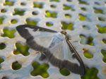 Le papillon de la Pyrale du buis, Cydalima perspectalis
