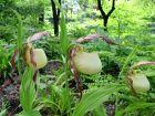 Sabot-de-Vénus du Kentucky, Cypripedium kentuckiense