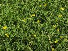 Roquette sauvage, Roquette vivace, Diplotaxis à feuilles étroites, Roquette jaune, Diplotaxis tenuifolia