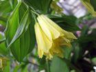 Cloche des fées de Corée, Cloche des Fées à fleurs jaunes, Disporum uniflorum