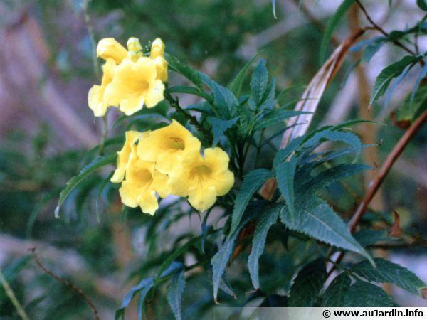 Bignone griffe de chat, Liane patate, <i>Doxantha unguis-cati</i>