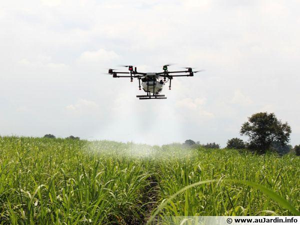 Un drone au-dessus d'un champ de canne à sucre