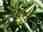 Olivier de Bohême, Eléagnus, Chalef à feuilles étroites, Eleagnus angustifolia