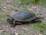 La cistude d'Europe, une tortue protégée
