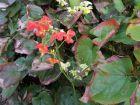 Fleur des elfes Warleyense, Epimedium x warleyense