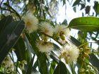 Gommier bleu, Eucalyptus commun, Eucalyptus globulus