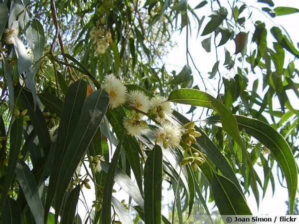 Eucalyptus commun, Gommier bleu