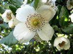 Eucryphia ulmo, Eucryphia cordifolia