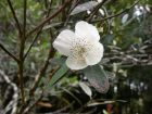 Bois rose, Eucryphia luisant, Eucryphia lucida