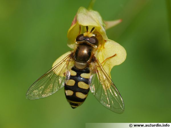 Le syrphe des corolles (Eupeodes corollae), une mouche alliée du jardinier