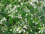 Fleurs d'Euphorbia hypericifolia 'Diamond Frost'