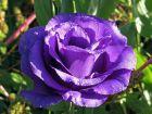 Lisianthus, Eustome à grandes fleurs, Eustome de Russel, Gentiane des prairies, Eustoma grandiflorum