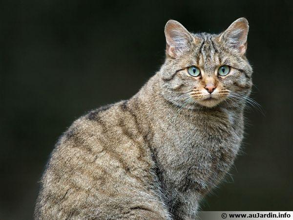 Felis silvestris est une des espèces sauvages de base du chat domestique