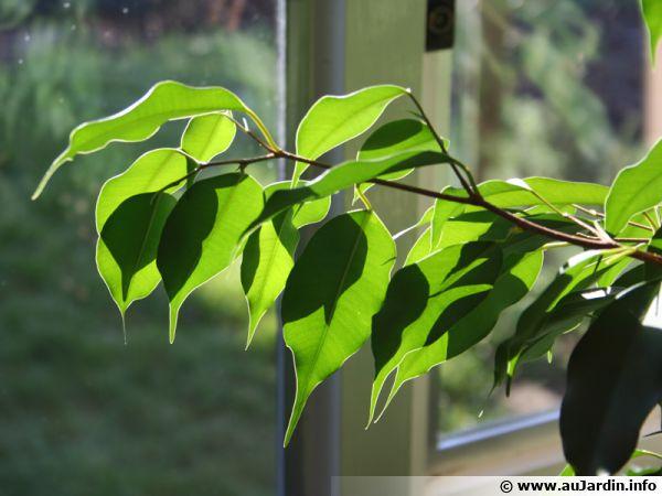 Le Ficus benjamina utile contre le formaldéhyde, l'ammoniac, le xylène et letoluène