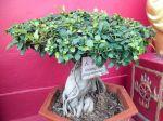 Le ficus ginseng, un bonsaï facile