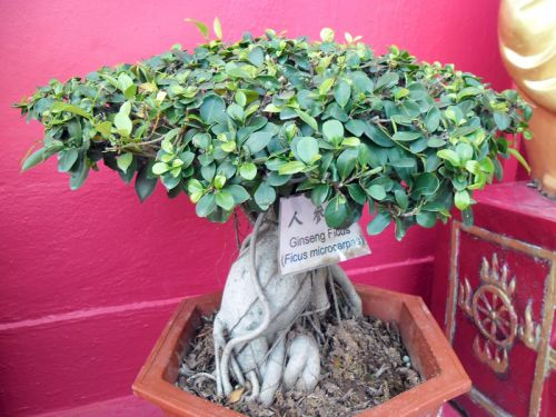 Le bonsaï : L'arrosage fait presque tout !
