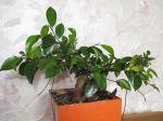 Ficus Ginseng, Ficus bonsaï, Ficus microcarpa 'Ginseng'