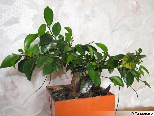 Ficus Ginseng, Ficus bonsaï, Ficus microcarpa \'Ginseng\'