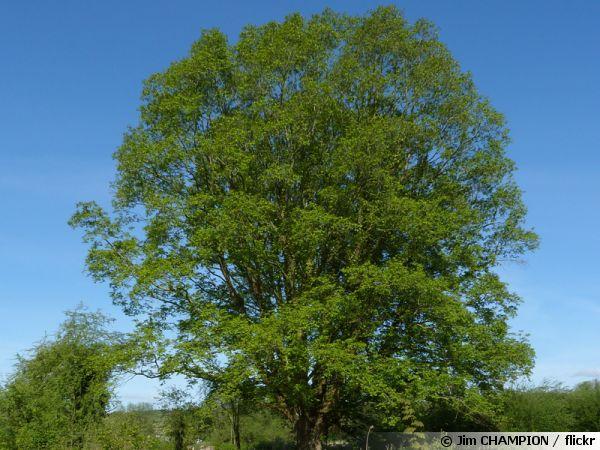 Frêne commun, Frêne élevé, Fraxinus excelsior