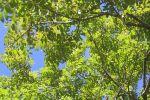 Les bienfaits du frêne