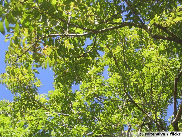 Feuillage du frêne commun