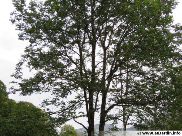 Un majestueux frêne