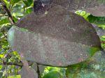 La fumagine, des feuilles noires et collantes