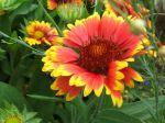Gaillarde vivace à grandes fleurs, Gaillardia x grandiflora